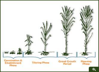 Moddus crop ripener crop sampling.